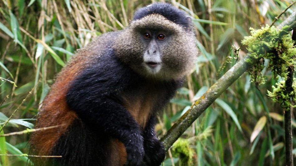 3 Days Golden & Gorillas Trekking
