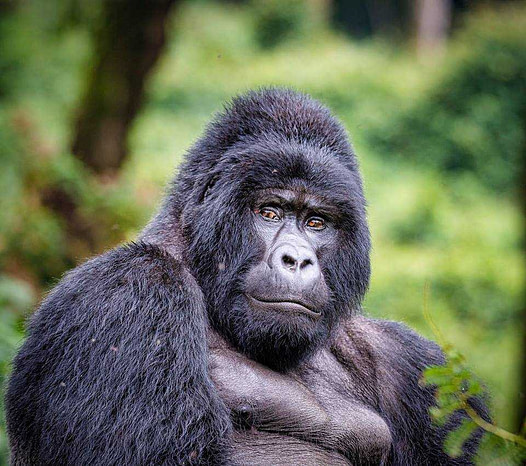 How Many Pounds Does A Gorilla Weigh