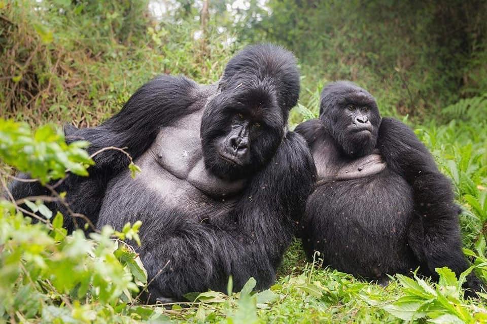 Congo Gorilla Volcanoes Hiking