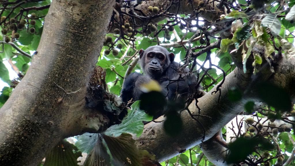 Gorilla Permit in Uganda Safaris
