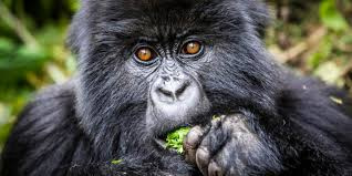 Short Gorilla Excursion Uganda