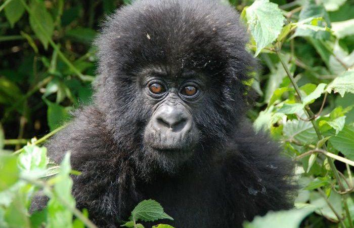 Spying gorilla in Bwindi