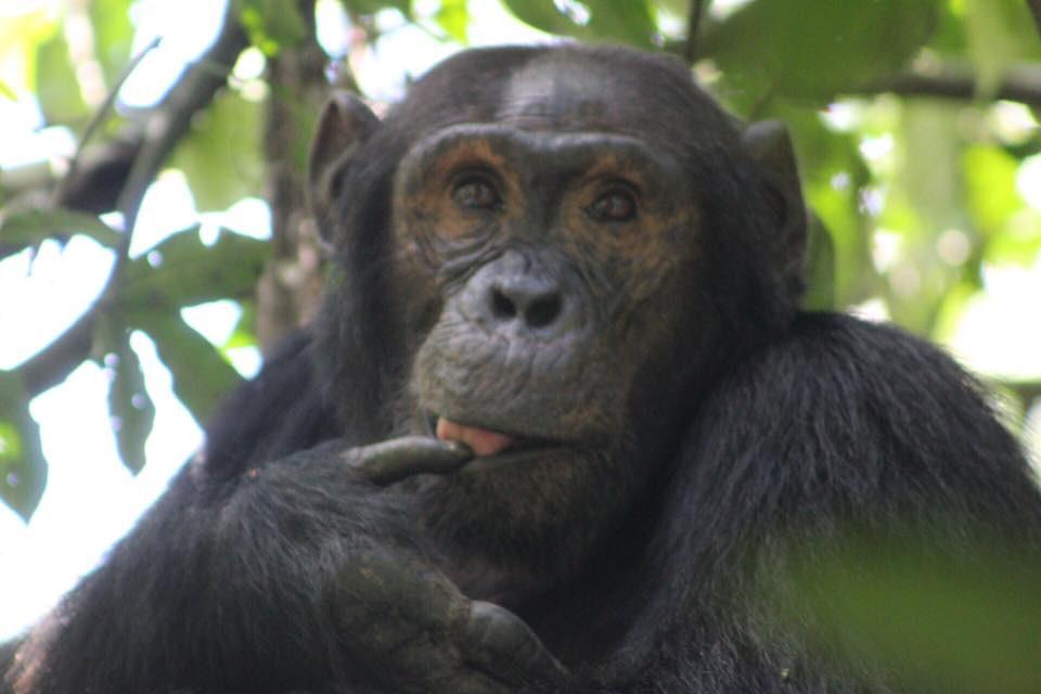Chimpanzee Eat