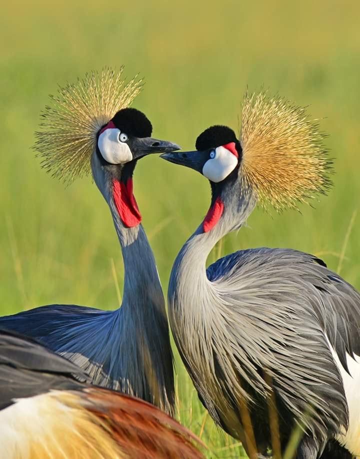Birding Safari in Uganda