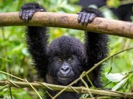 Gorilla Mating in Uganda