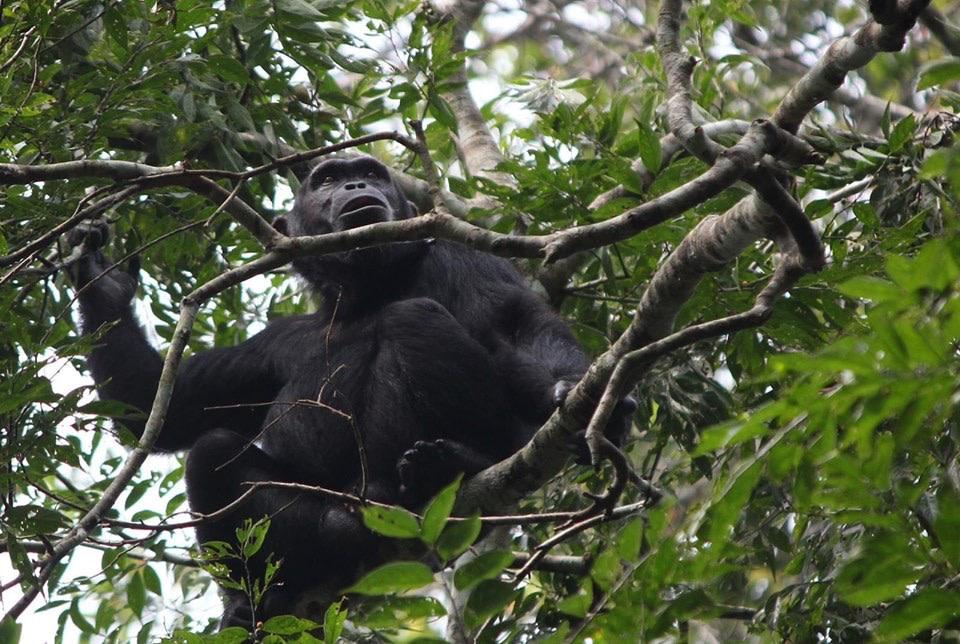 Primates Uganda Safari