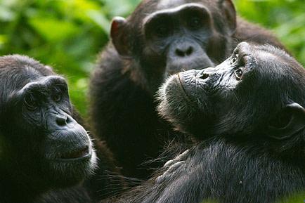 Uganda Safaris Chimpanzee tours