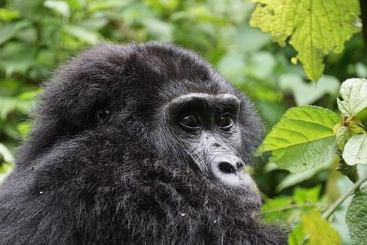 Short Gorilla trekking