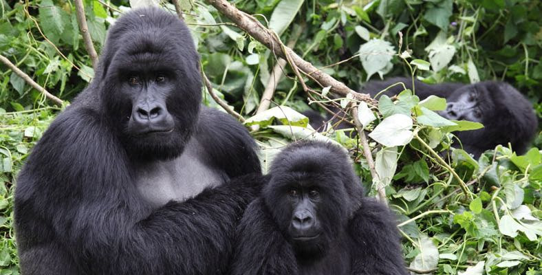 Why are gorilla endangered?