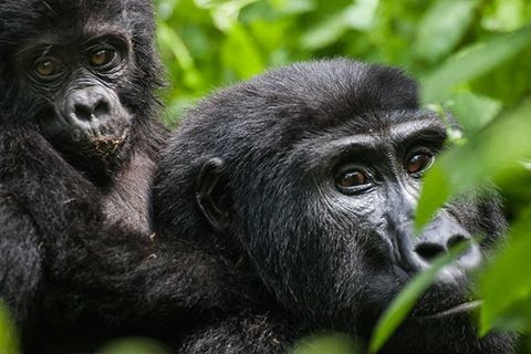 How does gorilla communicate?