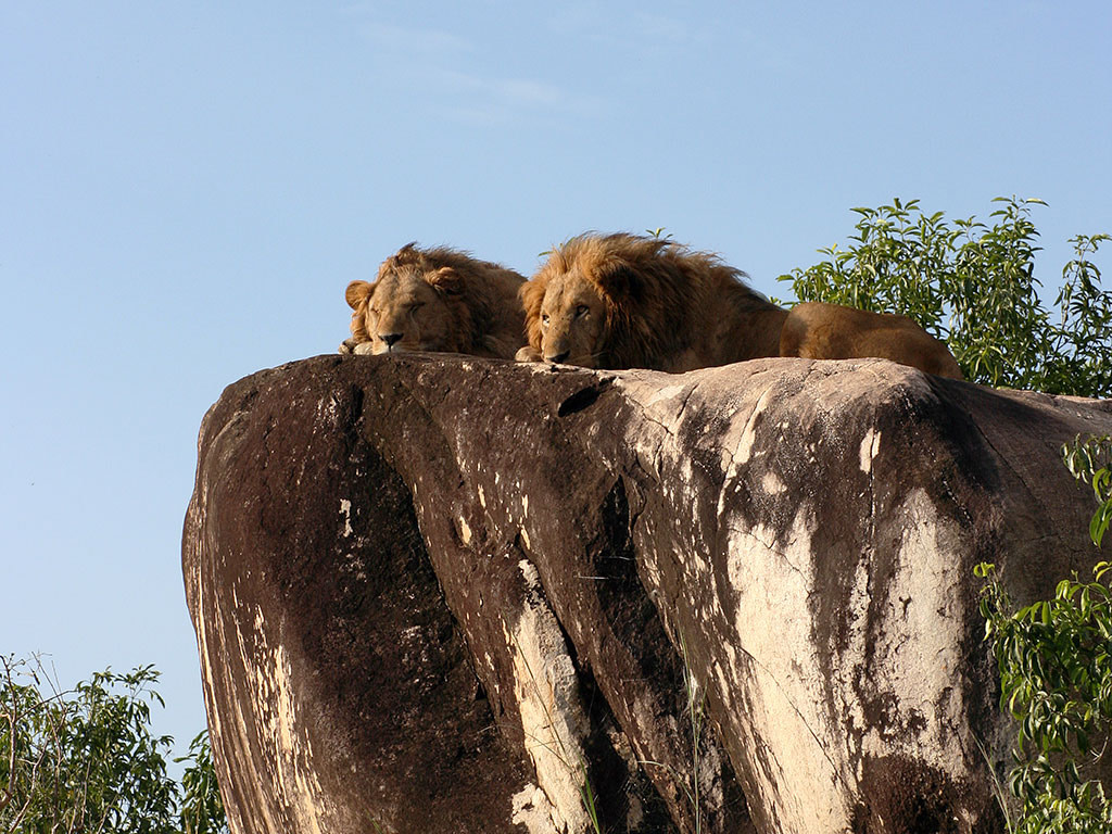 Kidepo valley national park lion on rock