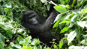 Habituated Gorillas Family Uganda