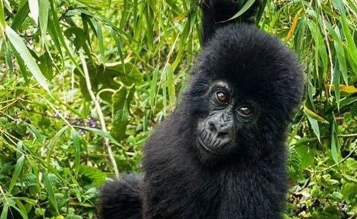 facts about baby gorillas