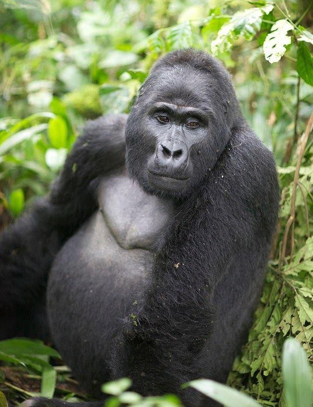 Gorillas Safari Rwanda Uganda