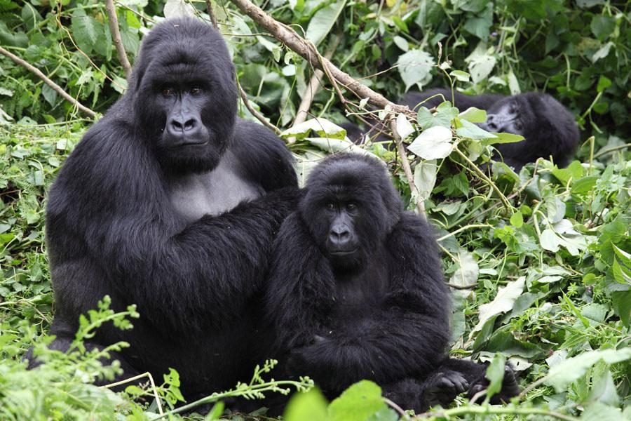 Budget Gorillas Trekking