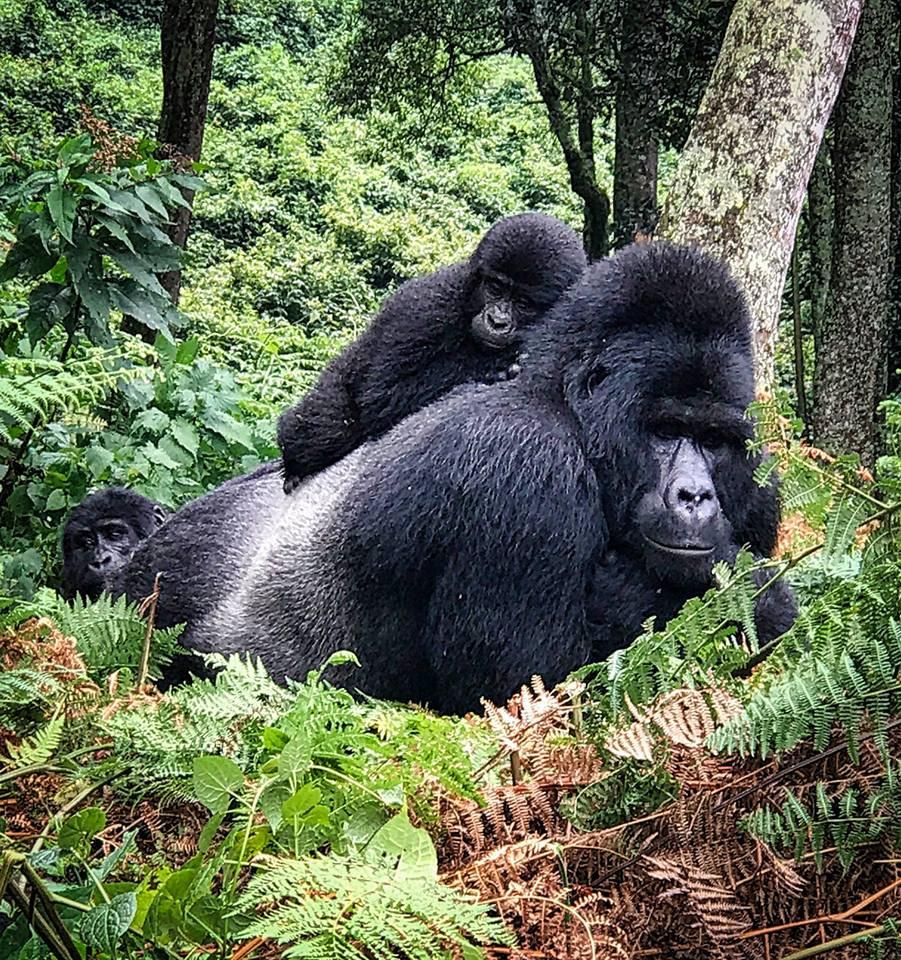 Best Gorillas Tours Uganda