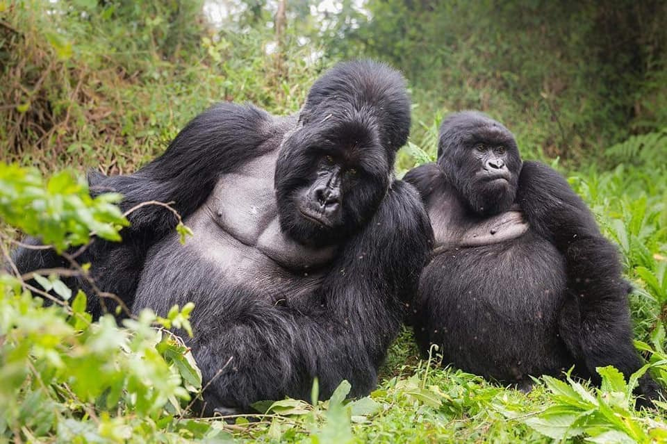 Flying Gorilla Tours
