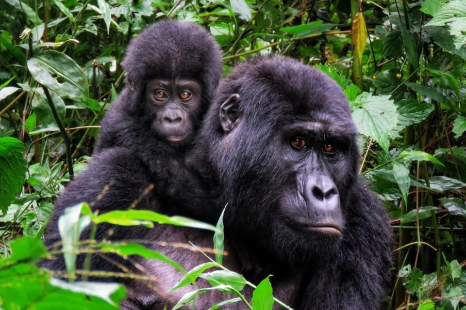 Short Gorilla Excursion Uganda
